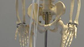 Human body skeleton model. Full size human body skeleton model, made of plastic tilt down, isolated on grey gray background stock video footage