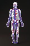 Human body skeleton section circulatory system Stock Photos
