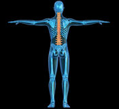 Human body, skeleton and spine. Human body seen on x-ray shows the skeleton and the spine Stock Image