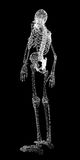 Human body, skeleton Stock Photography