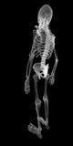 Human body, skeleton Stock Photography