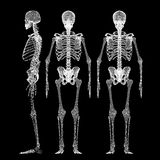 Human body, skeleton. Body structure , wire model Royalty Free Stock Images