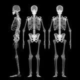 Human body, skeleton Royalty Free Stock Images