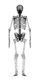 Human body, skeleton Royalty Free Stock Photography