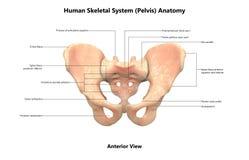 Human Body Skeleton System Pelvis Anterior View Anatomy stock illustration
