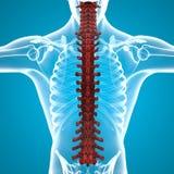 Human body spine anatomy Stock Photos