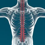 Human body spine anatomy Stock Photography