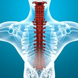 Human body spine anatomy Royalty Free Stock Photo