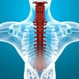 Human body spine anatomy Royalty Free Stock Photo