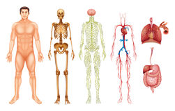 Human body systems. Various human body systems and organs Royalty Free Stock Image