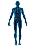 Human Body Transparent. High quality 3d image of human body with organs visible Stock Image
