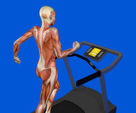 Human body, woman running, muscular system, treadmill, gym Stock Image