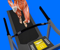 Human body, woman running, muscular system, treadmill, gym Royalty Free Stock Photo
