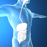 Human body by X-rays, digestive system Stock Images