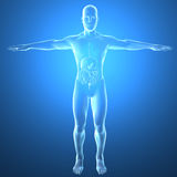 Human body by X-rays, digestive system Stock Image