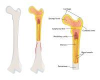Human bone anatomy,  Stock Image