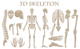 Human bones 3d realistic vector skeleton silhouette collection set. High detailed helloween illustration. Human bones 3d realistic vector skeleton silhouette Royalty Free Stock Photos