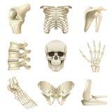 Human bones icons vector set. Human bones icons detailed photo realistic vector set Stock Image