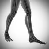 Human bones radiography scan image Stock Image