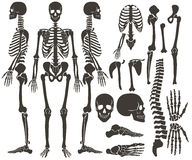 Human bones skeleton dark black silhouette collection. High detailed Vector Set of bones illustration. Stock Photography