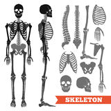 Human Bones And Skeleton Set. Human anatomy flat monochrome set with skeletons and single bones  on white background vector illustration Royalty Free Stock Photos