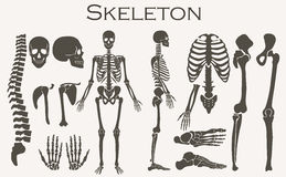 Human bones skeleton silhouette  collection set. High detailed Vector illustration. Stock Image