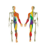 Human bony and muscular system. Front and rear view. Anatomy board. Stock Photo