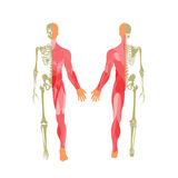 Human bony and muscular system. Front and rear view. Anatomy board. Royalty Free Stock Photos