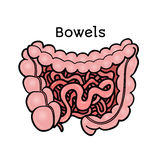 Human bowels, intestines, anatomical vector illustration Stock Photo