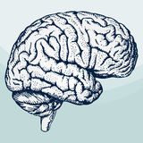 Human brain. Ht-vector human brain. Easy to download, combine and use stock illustration