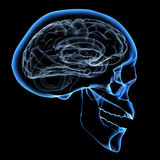Human brain. X-ray image of a human head with brain Royalty Free Stock Photography