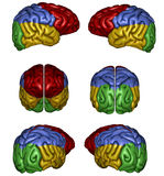 Human brain. 3D rendered human brain on white background isolated Stock Photography