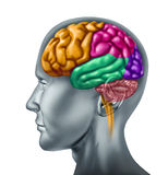 Human brain. Brain lobe sections with divisions in color representing mental neurological activity of the human organ Royalty Free Stock Photography