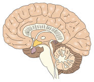 The human brain. Cross-section of the human brain. Vector illustration Stock Photos
