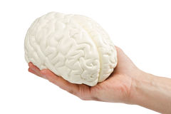 Human brain. Anatomical model of the human brain in a mans hand Royalty Free Stock Photography
