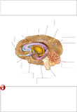 Human brain. Color medical illustration: human brain vector illustration