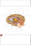 Human brain. Color medical illustration: human brain Royalty Free Stock Image