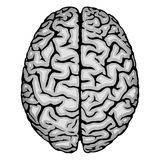 Human brain. Royalty Free Stock Image