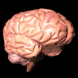 Human brain. 3d human brain isolated on dark background Stock Photo