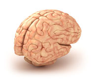 Human brain 3D model. Over white Stock Image