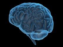 Human brain Royalty Free Stock Photos