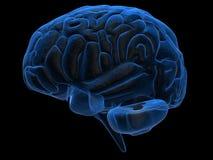 Human brain Royalty Free Stock Photography
