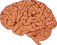 Human Brain. Accurate illustration of the human brain in profile view Stock Illustration