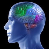 Human Brain. 3D rendered illustration of transparent human head with brain colored by section Stock Images