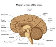 Human brain anatomy. Median section of the brain, eps8 Stock Photo
