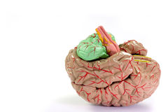 Human Brain Anatomy. On bright background royalty free stock image