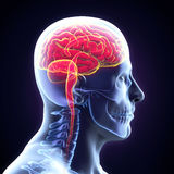 Human Brain Anatomy Royalty Free Stock Photos