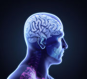 Human Brain Anatomy Royalty Free Stock Image