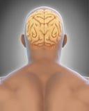 Human Brain Anatomy Stock Image