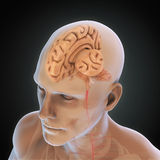 Human Brain Anatomy. Illustration. 3D render vector illustration